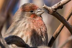 Cheerful Finch (MelRoseJ) Tags: davis california unitedstates a77ii alpha autofocus sonyalpha sal70400g sony sonyilca77m2 nature birds housefinch