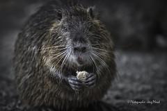 knusper knusper ... (Jrg Plesch) Tags: nutria tiere wildtiere ratte ratten knustper wasserratte rat wild animals