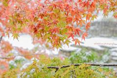 Snowfall in Kamakura (littlekiss) Tags: autumn snowfall snow japanesemaple kamakura nature japan littlekissphotography