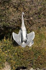 Heron (Le Méhauté Sébastien) Tags: oiseaux camargue pont du gau
