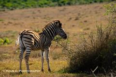 DSC02690.jpg (ChrMous) Tags: tamronsp150600mmf563 southafrica zoogdieren zuidafrika animals sonyslta99 2016 easterncape steppezebra addoelephantnationalpark burchellszebra equusburchelli