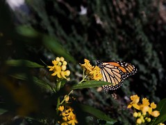 The Lone Monarch (msuner48) Tags: d600 acr5 cs4 monarchbutterfly nikcollection topazlabs oaklandca colorful warm flowers nikonafs24120mmf4ged
