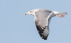 herring gull #3 (scilly puffin) Tags: larus gull islesofscilly