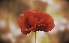 Remembrance 2016 (SteveJM2009) Tags: poppy poppies dof focus sun light colour bokeh petals bournemouth dorset uk june 2015 summer flowers roadside verge stevemaskell remembrance naturethroughthelens