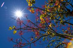 Flaming in the Sun (OzzRod) Tags: pentax k1 irix15mmf24blackstone testshots sunburst flare intothesun tree illawarraflametree uncropped gregson pentaxart