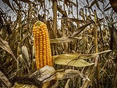 Ear of Maize (enneafive) Tags: maize corn birdfood yellow ear olympus omd em5 golden