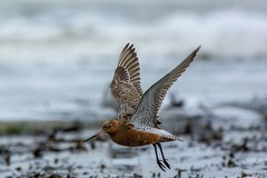 Bar-tailed Godwit - Broadstairs (JohnSDraper) Tags: broadstairs
