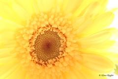 Gelbe Blten (Klaus R. aus O.) Tags: gelbeblume blte freigestellt makro canon 650dgelb hell grn stengel pflanze zierpflanze schnittblume