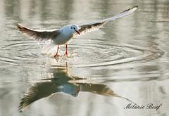 Mouette - Seagull (Melanie Beuf) Tags: mouette seagull bird oiseau