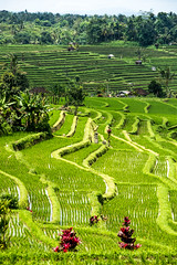 Arrozales de Jatiluwith (fns-k) Tags: agricultura arroz asia bali campo campos cereales espaa europa gusto indonesia islasbaleares mallorca sentidos