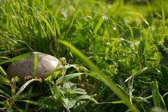 Antica Monterano (Renato-V) Tags: antica monterano nature pianta allaperto erba mushroom fungo rugiada dew