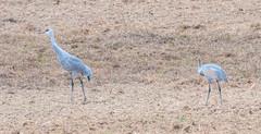 Sandhill Cranes (rpennington9) Tags: birds bird cranes tennessee nikon nikond90 sigma150600mmlens sandhillcranes birchwood hiwasseewildliferefugearea