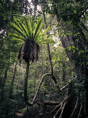 Epiphyt (Petra Ries Images) Tags: epiphyt lamington nationalpark rainforest trees regenwald wald baum bäume subtropen subtropisch subtropischerregenwald subtropical