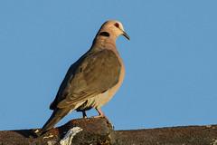 Red-eyed Dove, Ferndale, Randburg, April 2016 (roelofvdb) Tags: 2016 352 april date dove doveredeyed place randburg redeyeddove southernafricanbirds year