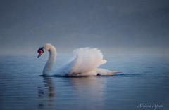 20 novembre 2016, lago di Bracciano (adrianaaprati) Tags: cigno lago swan lake italia romantic roma lazio allaperto bird nebbia sogno dream italy