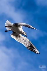 Hamburg FLY (tschischek) Tags: bird gull seagull sky cloud clouds hamburg landungsbrcke german germany trip city travel nature animal freedom free fly flying wings nikon d610 nikond610