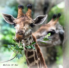 The beauty  of the long neck (melvhsc100) Tags: animals giraffle nature bokeh zoo park colors greenery nikon tamron70200mm