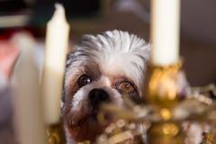 Watching / L'observateur (BLEUnord) Tags: chien dog chandelier chandelle candel dor golden lumire light shihtzu shistzu animal profondeurdechamp dof bokeh