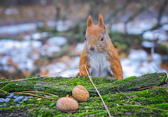 This is for me (rgbshot72) Tags: yellow park red forest winter animals tree beautiful closeup animal green wildlife frost squirrel wild nuts nikon d800e