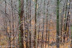 Ravine (laszlofromhalifax) Tags: ravine niagararegion ontario trees forest fall autumn nature plant