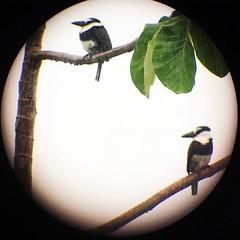 #birds #birdwatching puffbirds in the rain. #puravida #costarica #hotel #vacation #travel