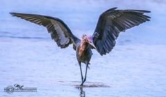 DSC_4799 (mikeyasp) Tags: egrets reddishegrets birds avian outdoors nature wings feathers egrettarufescens