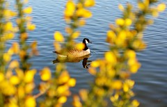 Golden Goose (suekelly52) Tags: gorse golden bird aquatic goose canadiangoose bokeh