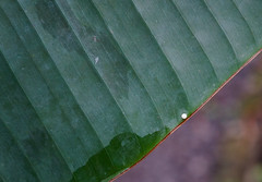Caligo (thingsfrompanama) Tags: panama elvalle cocle mariposas butterflies insectos insects animales animals caligo huevos eggs