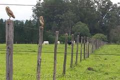 Fugere Urben (Francisco Barnabé Ferreira) Tags: corujas pastagem gado cerca piquete eucaliptos verde vivo
