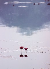 Water Lilly (ainuLIslam) Tags: waterlilly water lilly pond flower slhouette reflection dhaka dhakagram dhakagraam ju jahangirnagar winter