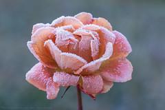 another last rose... (hgviola ♫) Tags: rose macro frozen cold ice eis kalt gefroren raureif dieletzterose lastrose winter autumn herbst deutschland germany badenwürttemberg lauffen neckar hgviola hgviolafotografie nikon d750 makro tamron180mm