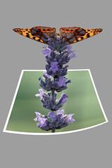 Papillon - Hors cadre (Laurent Moulin photographie) Tags: photo de papillon hors du cadre out bound bounds lavande