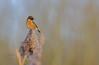 Stonechat (EddieFinnis) Tags: stare gaze looking fly sky reedbed landscape bokeh blur green stem foliage suffolk animal wild scenics scene orange light nature wildlife morning stonechat bird