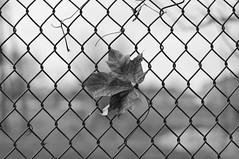hold tight (ladybugdiscovery) Tags: bw leaf fence bokeh thursday monochrome happy hmbt
