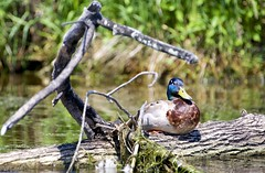 Bump on a log (Jamie McCaffrey) Tags: ontario canada nature river duck spring log nikon dof bokeh wildlife ottawa fowl rideau 28300 d600