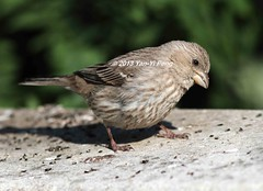 House-finch-adult-female_8445 (Warbler_King) Tags: finches housefinch illinoisbirds housefinchadultfemale