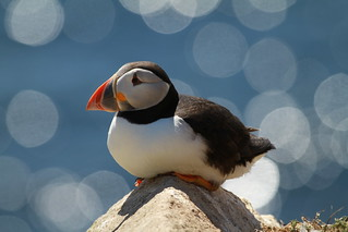 Puffin On Saltee Islands