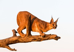 20130607_Namibia_Naankuse_Lodge_0213.jpg (Bill Popik) Tags: africa mammals namibia caracal 2places 3animals africancats