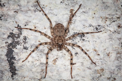 Flatty (Selenops sp.) (aliceinwl1) Tags: az arachnid arachnida araneae araneomorphae arizona arizona2013bugguide arthropod arthropoda entelegynes flatty mountlemmon pimacounty selenopidae selenops locpublic spider truespider viseveryone