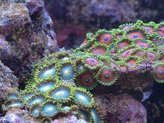 Zoanthus spp (digitalanatomy) Tags: aquarium buttons corals saltwater saltwateraquarium zoanthid zoanthus knappar koraller saltvattensakvarium mjukkoraller saltvattensguiden
