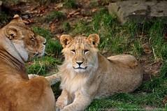 Afrikaanse leeuw - Panthera leo leo - African Lion (MrTDiddy) Tags: cat caitlin mammal zoo cub big kat belgium leo african lion bigcat antwerp antwerpen zooantwerpen grote nestor leeuw panthera zoogdier welp afrikaanse grotekat