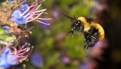 (alberto rossettini) Tags: macro insect flight bee abelha inseto bombus abelho cosina100mm mamangava sonyalpha