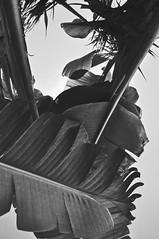 (Hyunsoo Kanyamuna) Tags: california ca vacation blackandwhite white black monochrome la losangeles nikon disneyland monochromatic disney palmtrees unionstation d90 nikond90