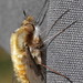 Bombylius major - Large Bee-fly