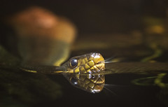Something Wicked (DFChurch) Tags: reflection water reptile snake nczoo redbellied watersnake