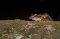Four-lined Tree Frog (Manuel Mejia Photography) Tags: singapore wildlife bukittimah fourlinedtreefrog polypedateslaucomystax