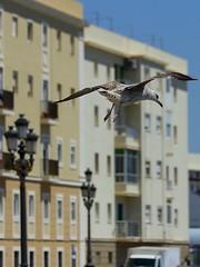 Gulls in Cádiz, Spain (campese) Tags: beach birds port spain cathedral gulls catedral aves seville andalucia espana cadiz andalusia cádiz malaga jerez