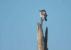 _DW12560 (Upstate Dave) Tags: birds jay florida ocalanationalforest floridascrubjay