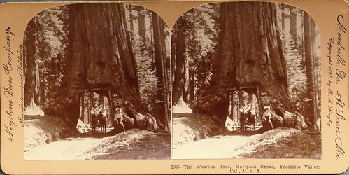 The Wawona Tree, Mariposa Grove, Yosemite, California (1897).  Felled During a Storm in 1969