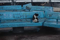 graffiti (Tania's Tales) Tags: street city blue cats animal cat bench mammal graffiti feline streetphotography stray   blackwhitecat       fotografiastradale taniastales